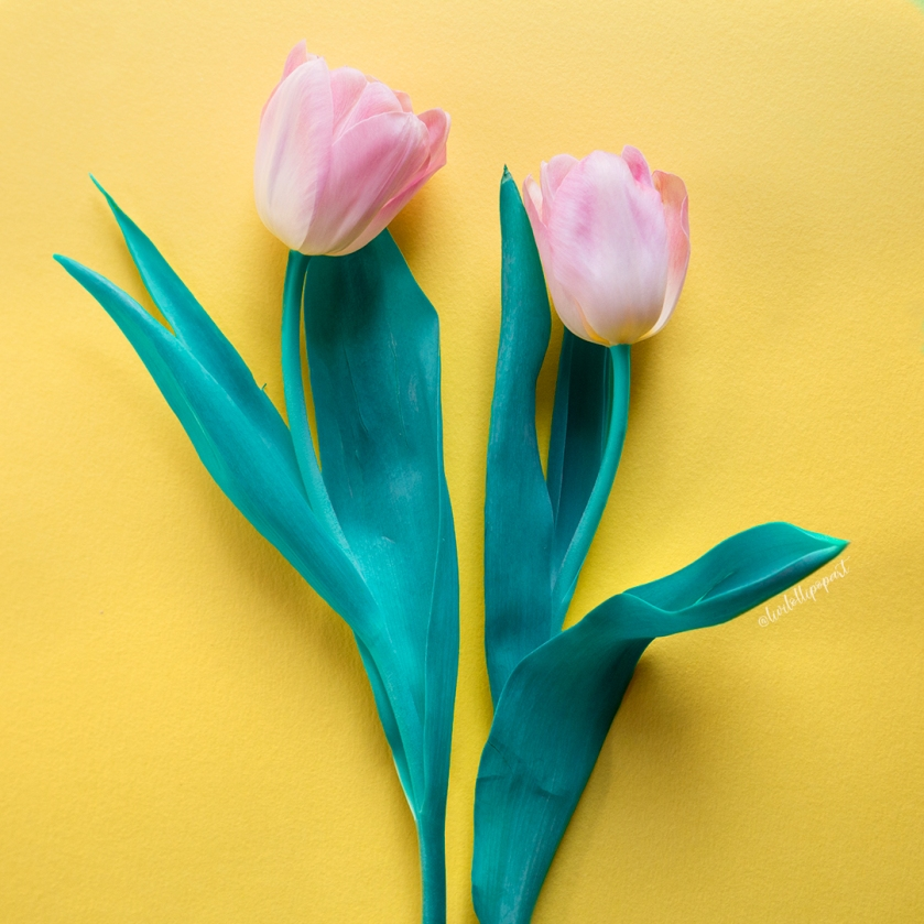 insta tulips2